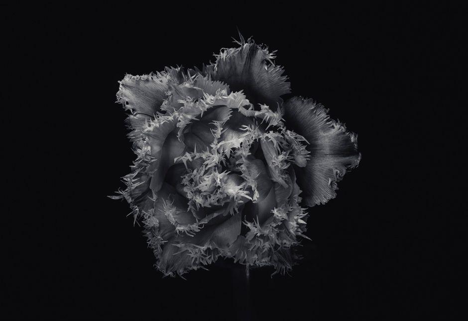tulip_jamie-murcutt-photography